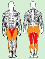 Muscles utilisés en squat ecarté
