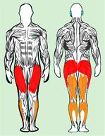 Muscles utilisés en squat serre