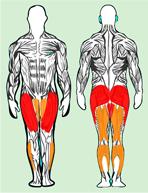 Muscles utilisés en squat classique